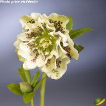 Helleborus orientalis \'Double ellen yellow spotted\'