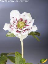 Helleborus orientalis 'White Spotted' - Hellebore orientalis 'White Spotted' - Rose de Noël