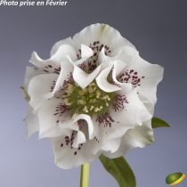Helleborus orientalis \'White spotted\'