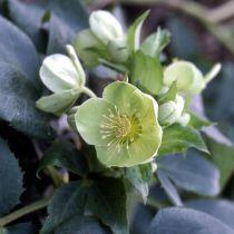 Helleborus orientalis \'Yellow Lady\'