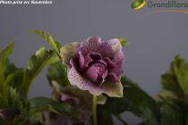 Helleborus orientalis - Hellebore orientalis - Rose de Noël