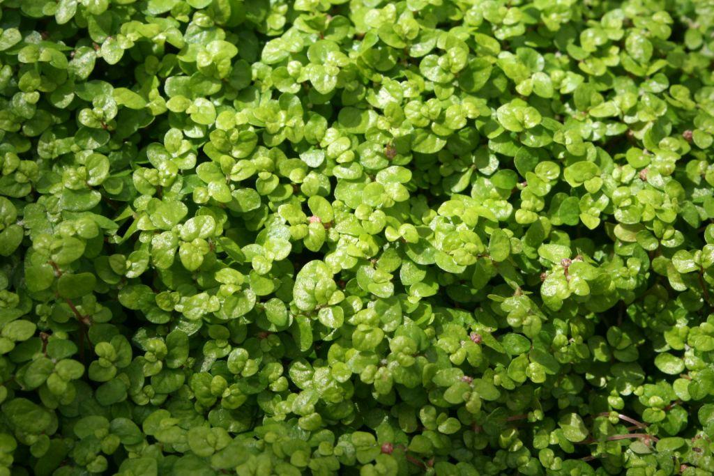 Helxine - Soleirolia soleirolii