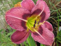 Hemerocallis* \'Always Afternoon\'