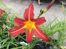 Hemerocallis* \'Autumn Red\'