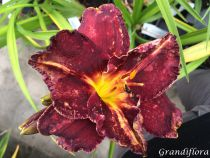 Hemerocallis* \'Black Stockings\'