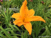 Hemerocallis* \'Burning daylight\'
