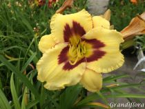 Hemerocallis* \'Canadian Border Patrol\'