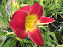Hemerocallis* \'Christmas Is \'