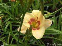 Hemerocallis* \'Custard Candy\'