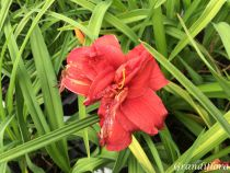 Hemerocallis* \'Double Firecracker\'