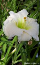 Hemerocallis* \'Gentle Shepherd\'