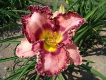 Hemerocallis* \'Mardi Grass Ball\'