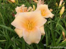 Hemerocallis* \'Mini Pearl\'