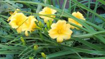 Hemerocallis* \'Mini Stella\'