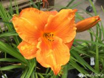 Hemerocallis* \'My Reggae Tiger\'