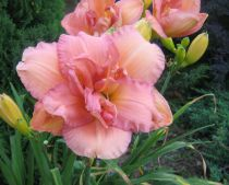Hemerocallis* \'Peggy Bass\'