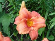 Hemerocallis* \'South Seas\'