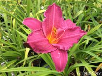Hemerocallis* \'Summer Wine\'