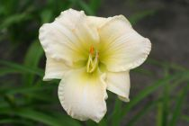 Hemerocallis* \'White Temptation\'