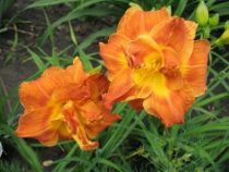 Hemerocallis \'Double Delicious\'