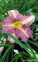 Hemerocallis \'LonGo Purple\' ®
