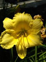 Hemerocallis \'LonGo Yellow\' ®