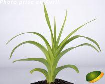 Hemerocallis* Mauna loa