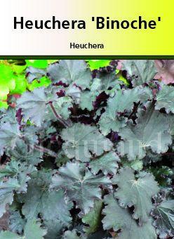 Heuchera \' Binoche \'