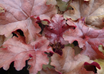 Heuchera \' Red Sea®\'