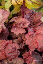 Heuchera \'Autumn leaves\'