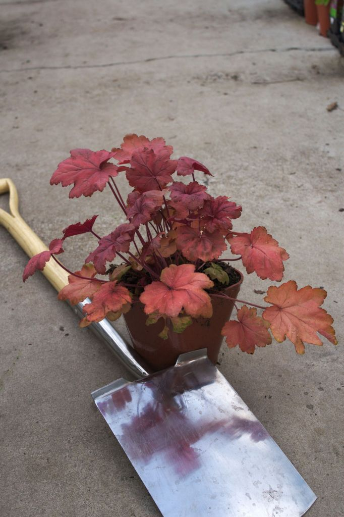 Heuchera \'Autumn leaves\'