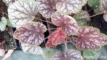 Heuchera \'Beauty Color\'