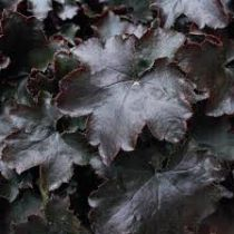 Heuchera \'Blackout\'
