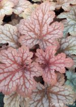 Heuchera \'Celtic Sea\'