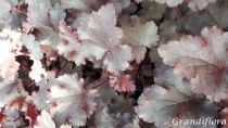 Heuchera \'Crazy Rasta\'