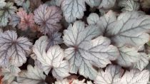 Heuchera \'Flores Snow\'