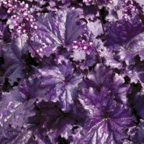 Heuchera \'Forever Purple\'