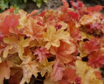 Heuchera \'Happy Autumn\'