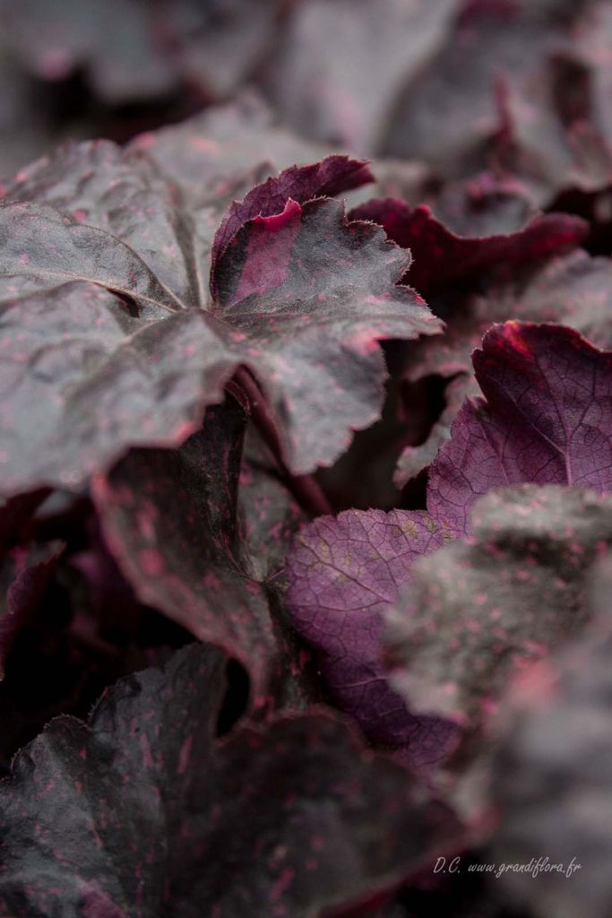 Heuchera \'Midnight rose\'