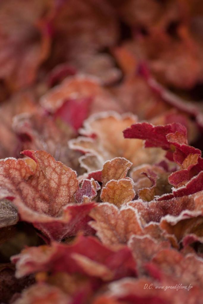 Heuchera \'Peach flambe\'
