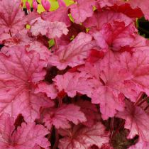 Heuchera \'Red Fury\'