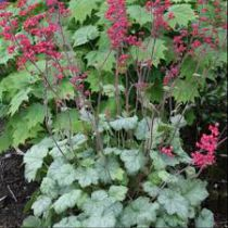 Heuchera \'Silver Dollar\'