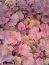 Heuchera little cuties \'Blondie\'