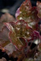 Heuchera micrantha \'Palace purple\'