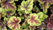 Heucherella \'Golden Zebra\'