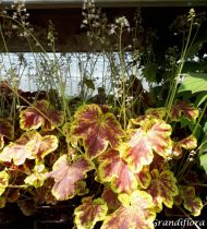 Heucherella \'Solar Eclipse\'