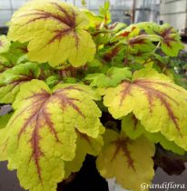 Heucherella \'Stoplight\'