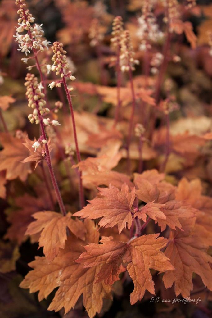 Heucherella \'Sweet Tea\'