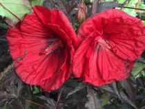 Hibiscus * mahogany \'Splendor\'