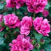 Hibiscus * syriacus \'Duc de Brabant\'